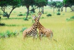 Giraffen, het Nationale Park van Dalingen Murchison (Oeganda) royalty-vrije stock foto's