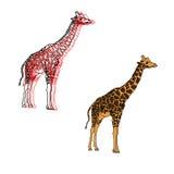 Giraffen, Illustration lokalisiert auf Weiß Lizenzfreies Stockbild