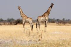 Giraffen im Busch. Lizenzfreie Stockbilder