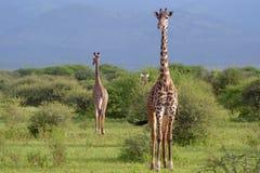 Giraffen im savana lizenzfreie stockfotografie