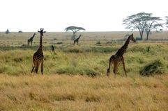 Giraffen im Serengeti Stockfotos
