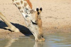 Giraffen-Kuh - weiche Lippen und kühle wasser- afrikanische wild lebende Tiere Stockfotografie