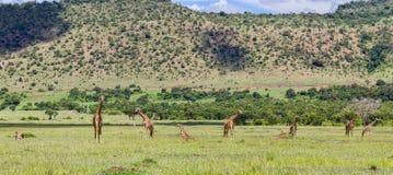 Giraffen in Masai Mara Stock Afbeeldingen
