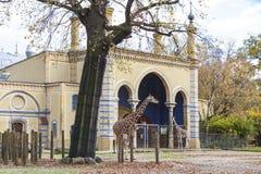 Giraffen & x28 met een netvormig patroon; Giraffa reticulata& x29; in Berlin Zoo Royalty-vrije Stock Afbeeldingen