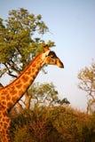 Giraffen in Namibië stock afbeeldingen