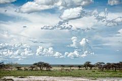 Giraffen, Namibië, Afrika Stock Fotografie