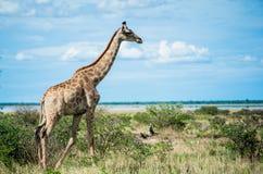 Giraffen, Namibië, Afrika Stock Afbeelding