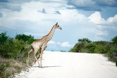 Giraffen, Namibië, Afrika Royalty-vrije Stock Foto