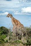 Giraffen, Namibië, Afrika Stock Foto
