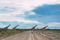 Giraffen, Namibië, Afrika Stock Foto's