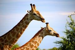 Giraffen in Namibia Lizenzfreies Stockbild