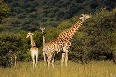 Giraffen in natuurlijke habitat Stock Afbeelding