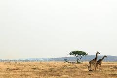 Giraffen-Paare auf Savanne Stockfotos