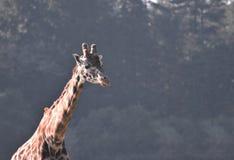 Giraffen-Porträt mit Kopienraum stockfoto