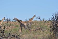 Giraffen in Südafrika Lizenzfreie Stockfotos
