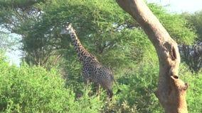 Giraffen in Savannah Safari in Kenia stock video