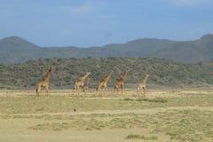 Giraffen am See Magadi, Kenia stockbilder
