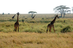 Giraffen in Serengeti Stock Foto's