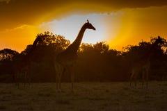 Giraffen silhouettiert gegen Sonnenaufgang Stockfotografie