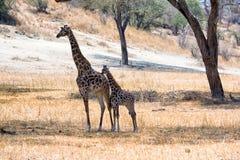 Giraffen in Tarangire lizenzfreie stockbilder