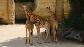 Giraffen tegen een Rotsachtergrond stock video