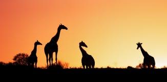 Giraffen tegen zonsopgang worden gesilhouetteerd die stock foto