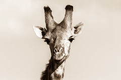 Giraffen-Tierschwarze weiße Hauptweinlese der wild lebenden Tiere Lizenzfreie Stockfotografie