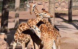 Giraffen-Torsion Stockbild
