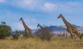 Giraffen in Tsavo-het westen nationaal park Kenia Afrika met Blauwe Hemel royalty-vrije stock foto
