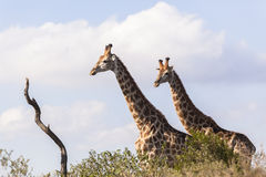 Giraffen Twee Dieren Stock Foto