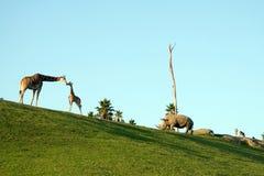 Giraffen und Nashorn Stockfotos