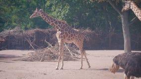 Giraffen und Strauß in Kopenhagen-Zoo stock video
