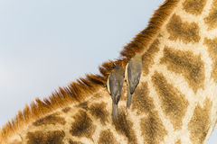 Giraffen-Vogel-wild lebende Tiere Stockfotografie