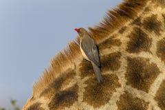 Giraffen-Vogel-wild lebende Tiere Lizenzfreie Stockbilder