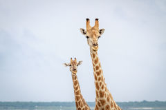 Giraffen, welche die Kamera betrachten Lizenzfreies Stockbild