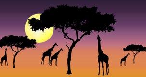 Giraffen in zonsondergang Royalty-vrije Stock Foto