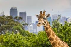 Giraffen am Zoo mit Blick auf die Skyline von Sydney in der Rückseite Lizenzfreie Stockfotos