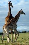 Giraffen in Zuid-Afrika royalty-vrije stock fotografie