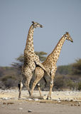 Giraffenanschluß Stockbild