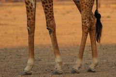 Giraffenbeine Lizenzfreie Stockbilder
