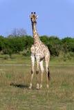 Giraffenbulle zdjęcia stock