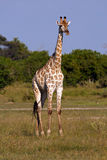 Giraffenbulle obrazy royalty free
