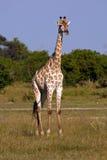 Giraffenbulle Royalty Free Stock Images