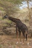 Giraffenfütterung Stockbild