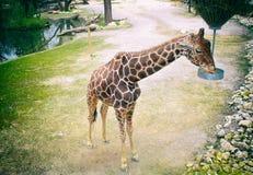 Giraffenfütterung stockfotos