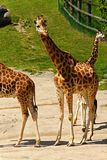 Giraffenfamilie Lizenzfreies Stockfoto