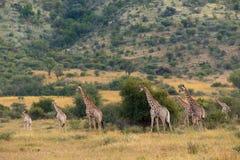 Giraffenfamilie het verzamelen zich stock foto