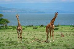 Giraffenfamilie Naivasha lizenzfreie stockbilder