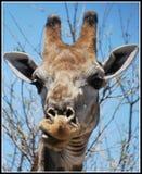 Giraffenfest auf Blättern Lizenzfreie Stockfotografie