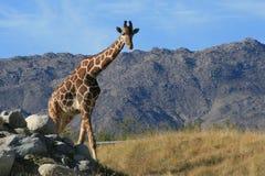Giraffengehen Lizenzfreies Stockbild